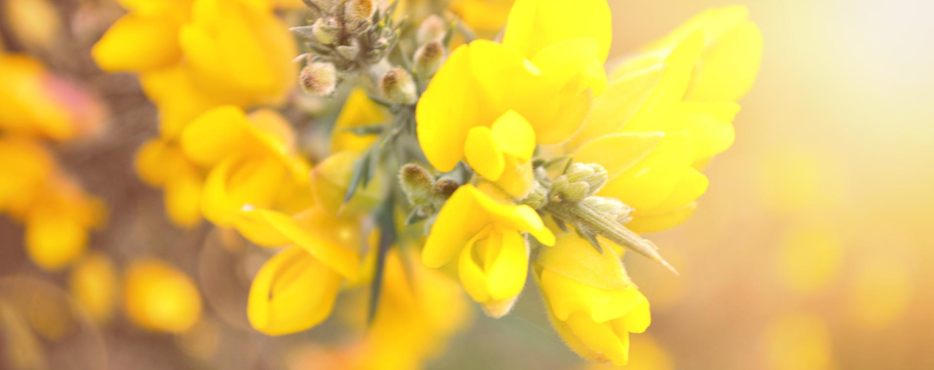 Nr 13 Gorse Stechginster Unsicherheit Lemon Pharma Original Bachblüten Dr. Bach