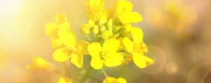 Nr 21 Mustard Wilder Senf Desinteresse an der Gegenwart Lemon Pharma Original Bachblüten Dr. Bach