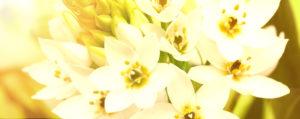 Nr 29 Star of Bethlehem Doldiger Milchstern Verzagtheit und Verzweiflung Lemon Pharma Original Bachblüten Dr. Bach
