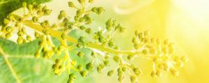Nr 32 Vine Weinrebe Überbordende Sorge um Andere Lemon Pharma Original Bachblüten Dr. Bach